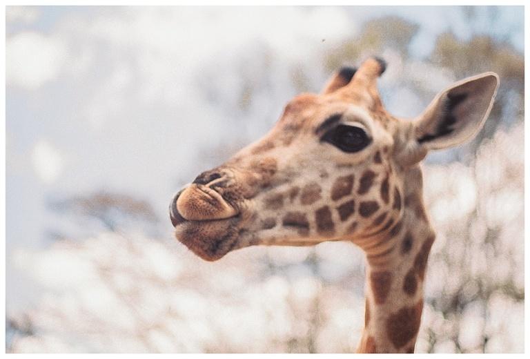 photographing giraffes